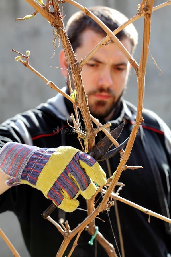 виноградина вырезывания стоковое фото rf