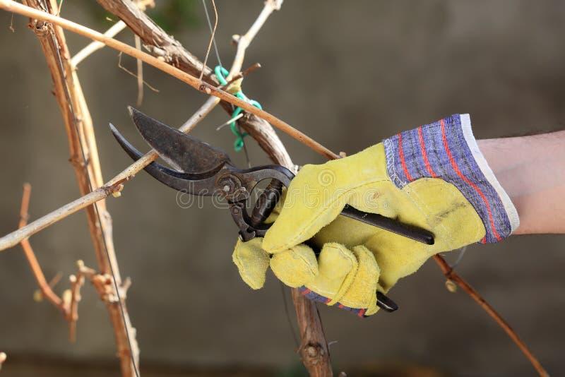 виноградина вырезывания стоковая фотография rf