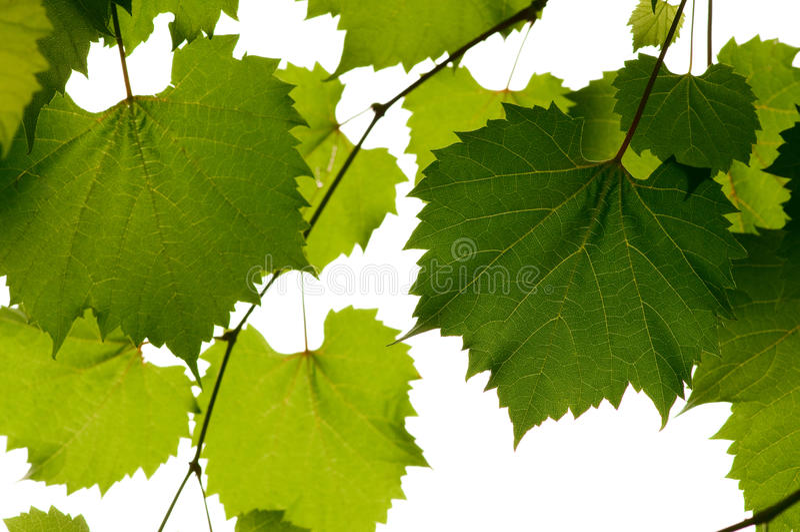виноградина выходит одичалым стоковые фотографии rf
