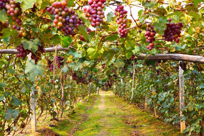 виноградина группы стоковые изображения rf