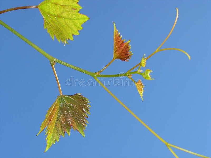 виноградина 05 стоковое фото rf