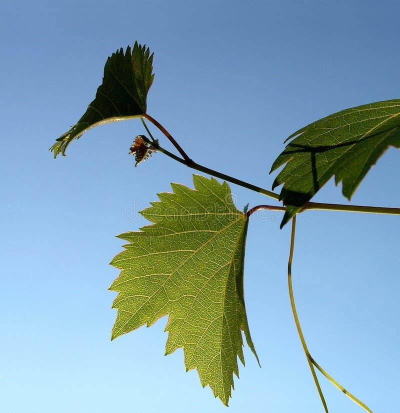 виноградина 17 стоковая фотография