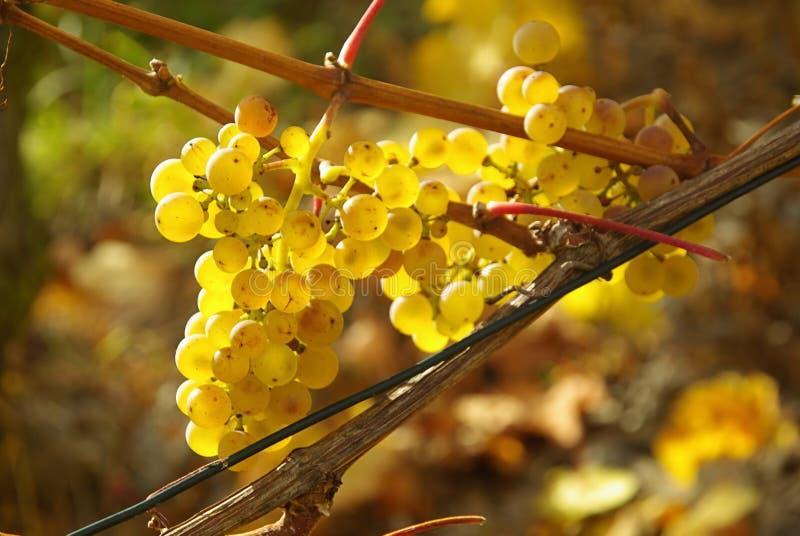 Download Виноградина стоковое фото. изображение насчитывающей yellow - 6853272