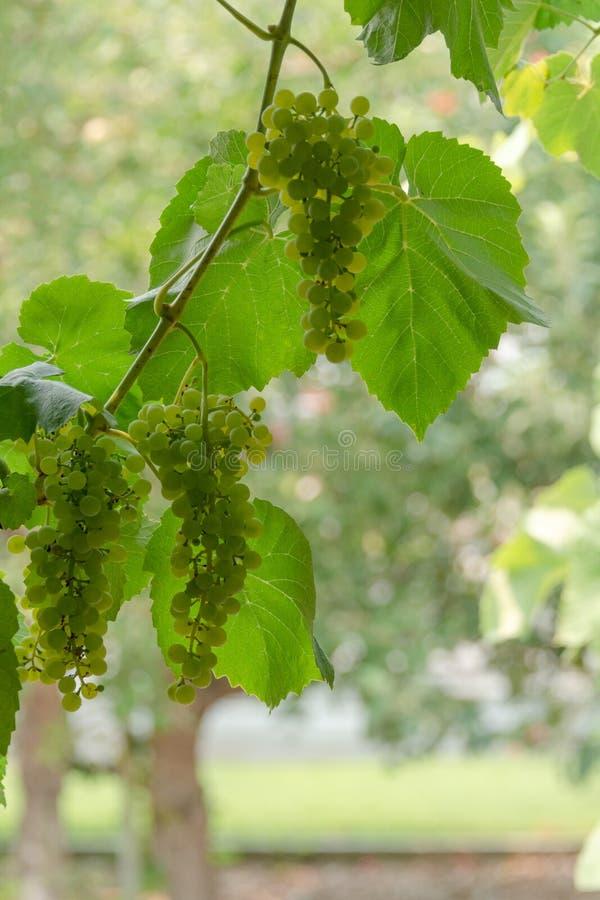 Виноградина Fascicle зеленая растя среди листьев Ветвь лозы с racemules зеленых виноградин стоковое фото rf