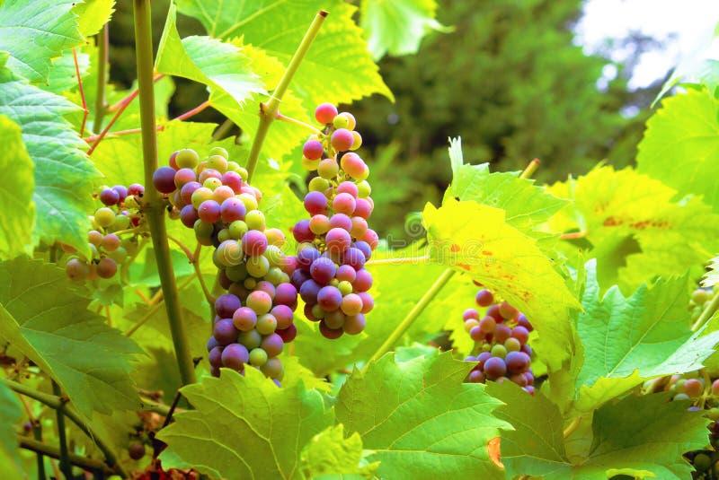 Виноградины вина в Англии стоковая фотография rf