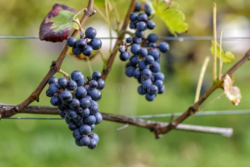 Виноградины вина в винограднике в осени стоковая фотография