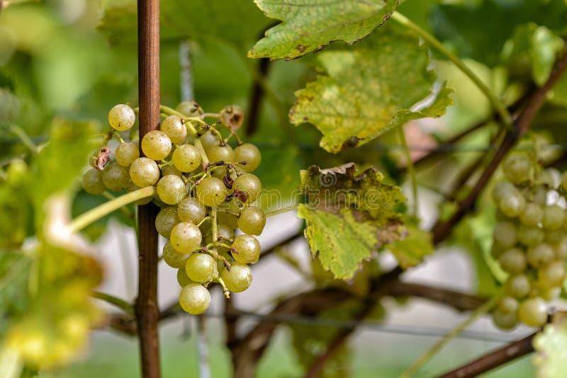 Виноградины вина в винограднике в осени стоковое изображение