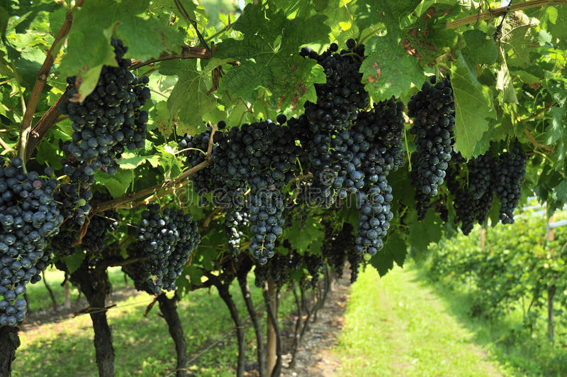 Download Виноградины вина стоковое изображение. изображение насчитывающей природа - 26217337