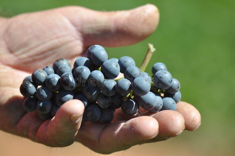 Виноградины вина стоковые фотографии rf