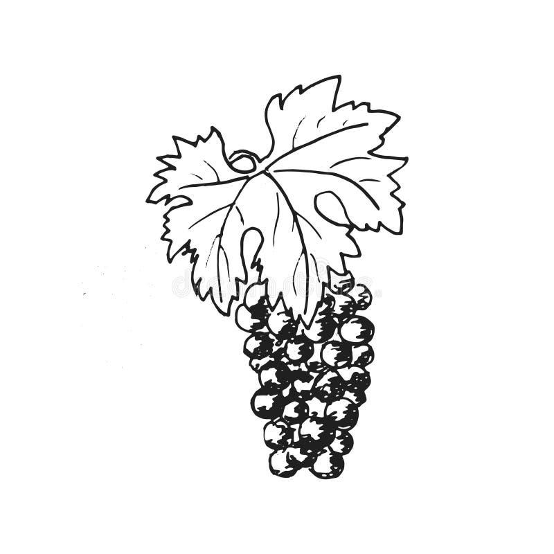 Виноградины Вино виноградины, нарисованная рука гравирующ иллюстрацию, стиль минимализма связка винограда Листья, folliage, иллюстрация штока