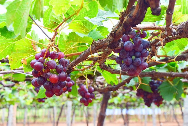 Виноградины вися на лозе в винограднике в Индии - садоводстве стоковые изображения