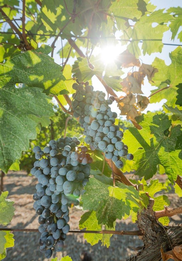 Виноградины в винограднике стоковая фотография
