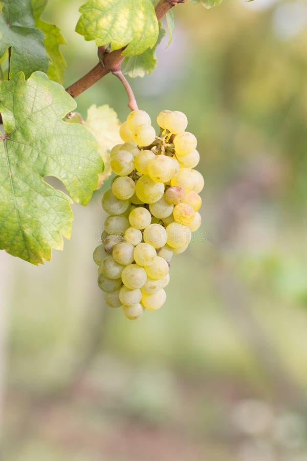 виноградины жмут готовое зрелое стоковая фотография