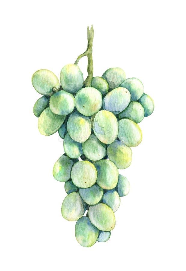 Виноградины зеленого цвета пука акварели иллюстрация штока
