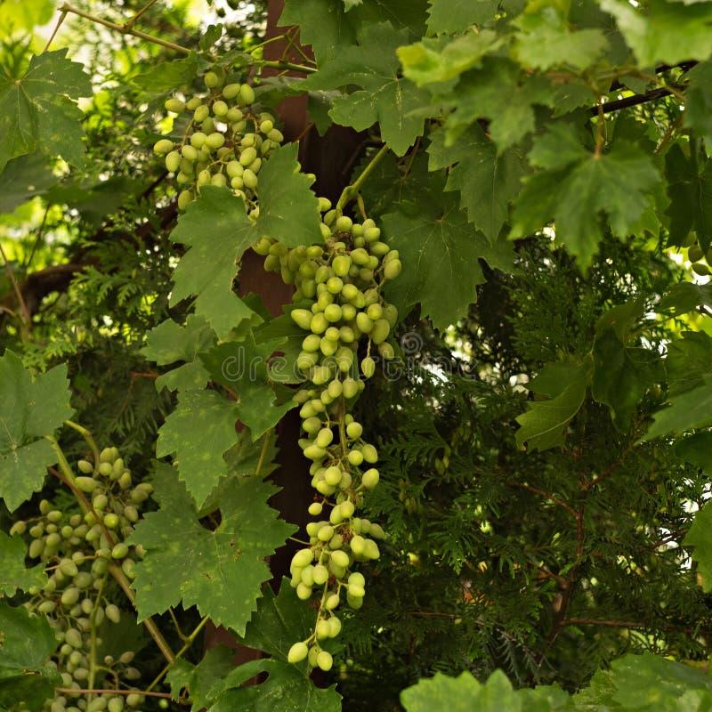 Виноградины зеленой фермы деревенские растя на лозе стоковое изображение rf