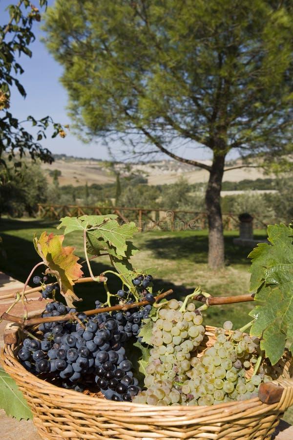 виноградины корзины стоковые фото