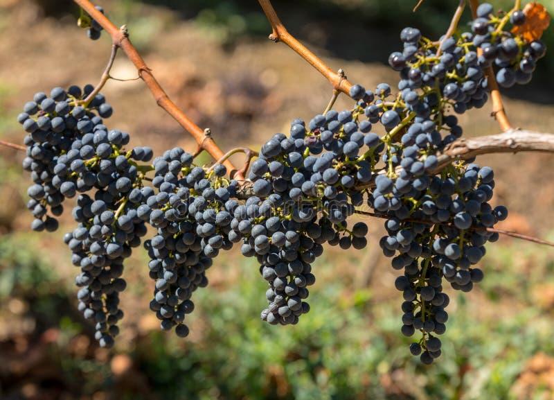 Виноградины красного вина готовые для сбора и винные изделия Святой Emilion, стоковое фото rf