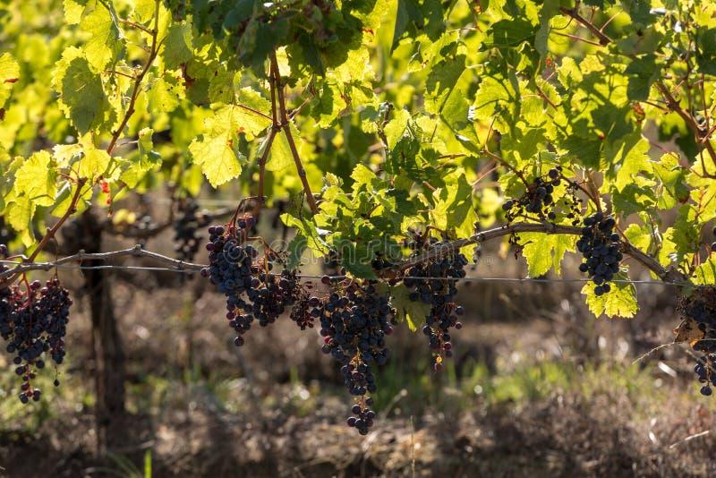 Виноградины красного вина готовые для сбора и винные изделия Святой Emilion, стоковая фотография rf