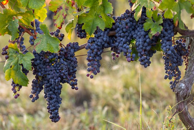 Виноградины красного вина готовые для сбора и винные изделия Святой Emilion стоковое фото rf