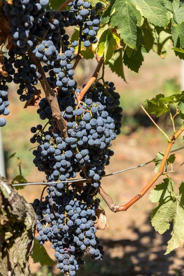 Виноградины красного вина готовые для сбора и винные изделия Святой Emilion стоковая фотография rf