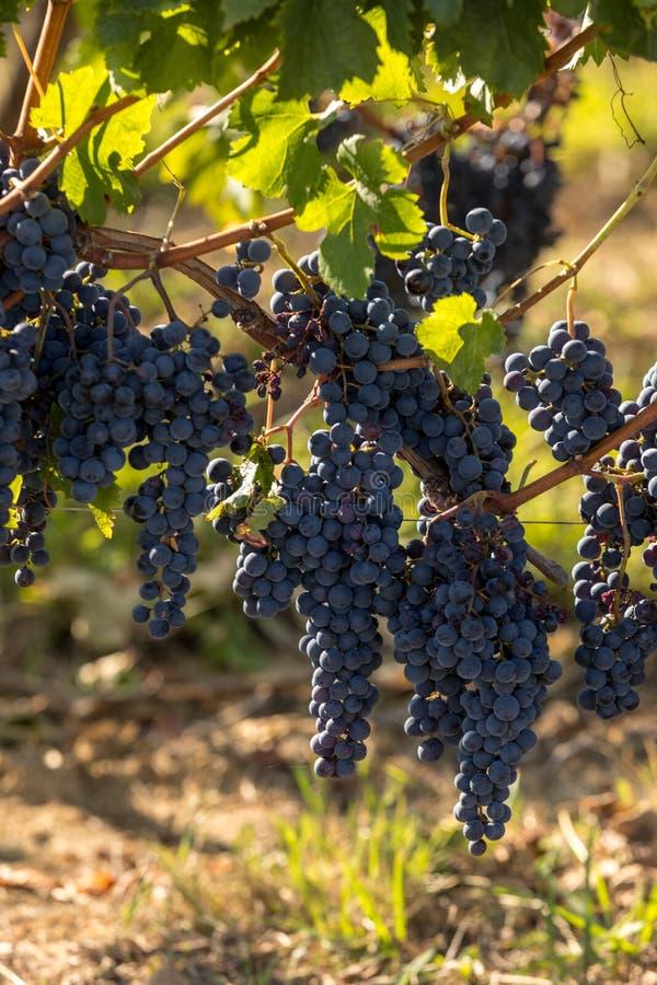 Виноградины красного вина готовые для сбора и винные изделия Medoc стоковая фотография rf