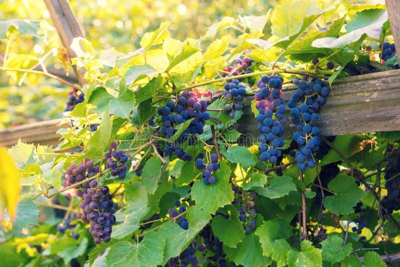 Виноградины красного вина на виноградном вине стоковая фотография rf
