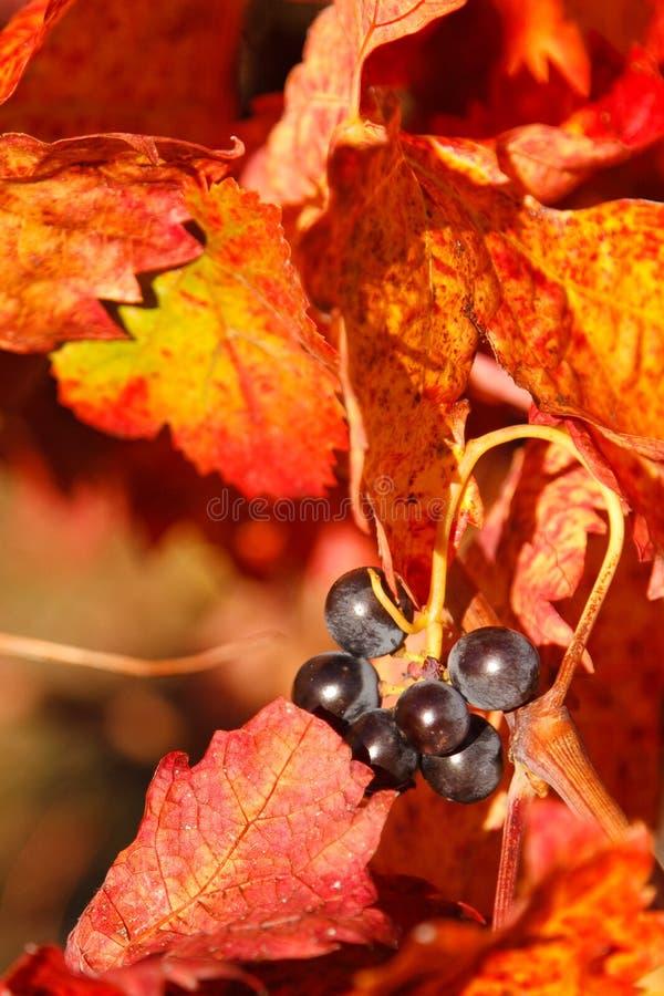 виноградины медля стоковые изображения rf