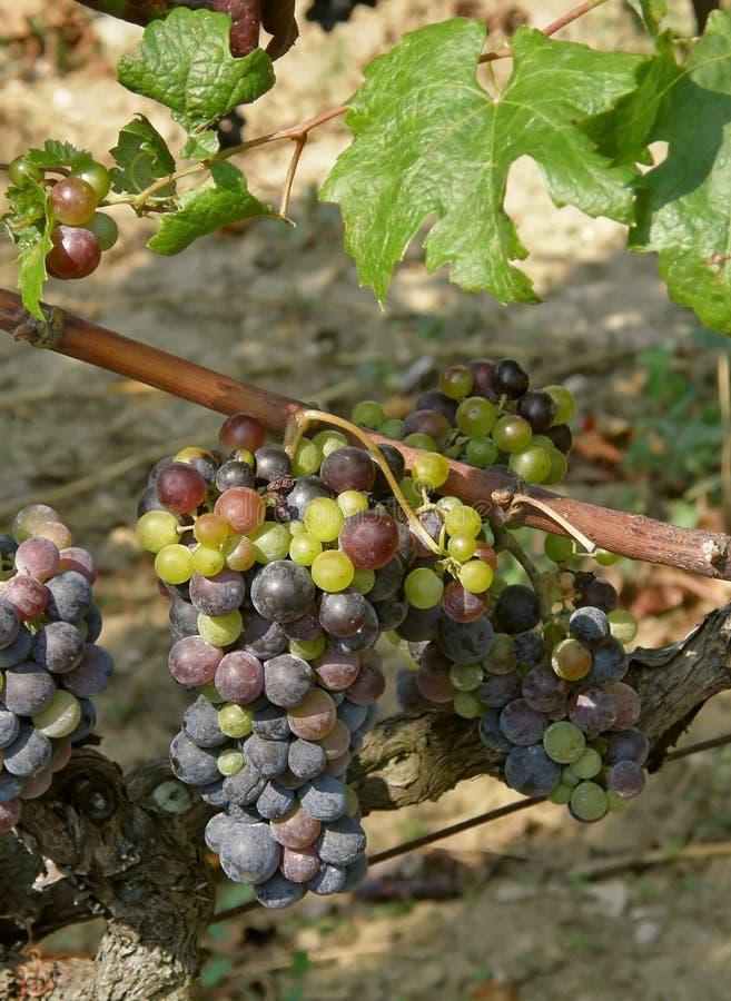 виноградины незрелые стоковые изображения rf