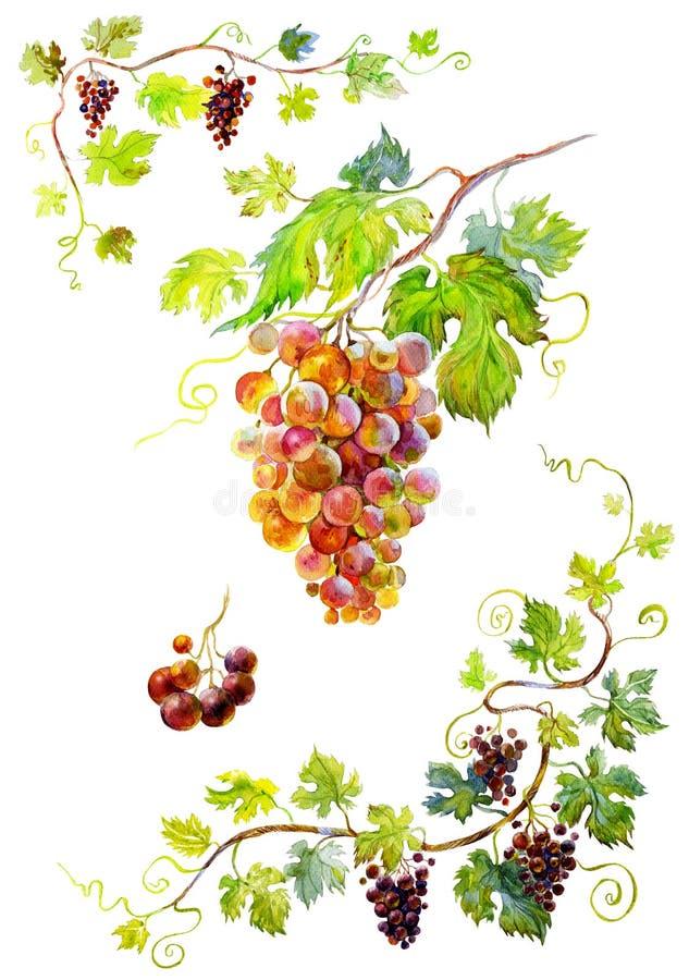 виноградины пука бесплатная иллюстрация