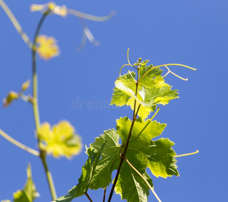 Виноградины усика в природе стоковая фотография rf