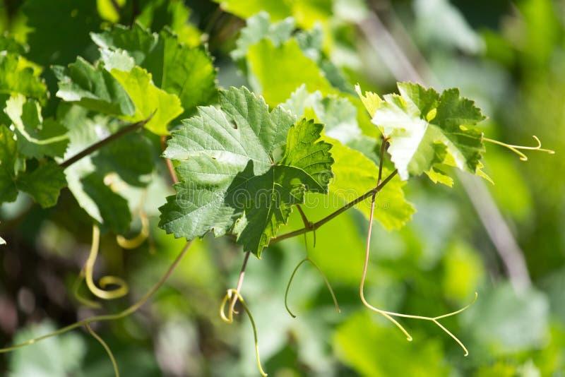 Виноградины усика в природе стоковые изображения
