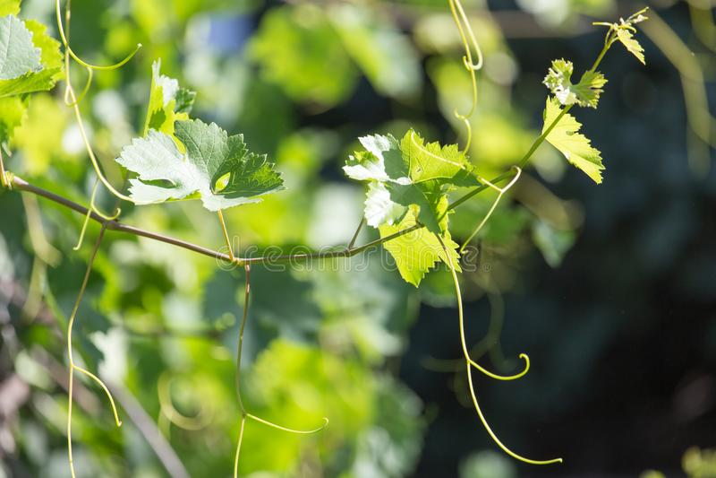 Виноградины усика в природе стоковое изображение rf
