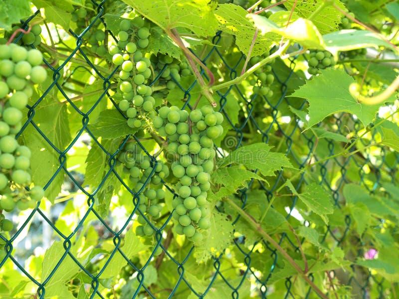 виноградины 1 незрелые стоковые фотографии rf