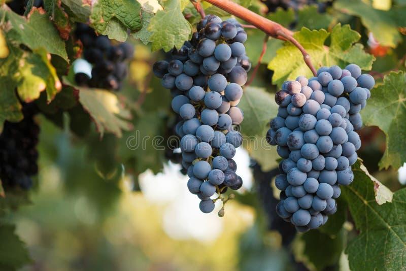 Виноградины Syrah на лозе в мягком выравниваясь свете стоковое фото