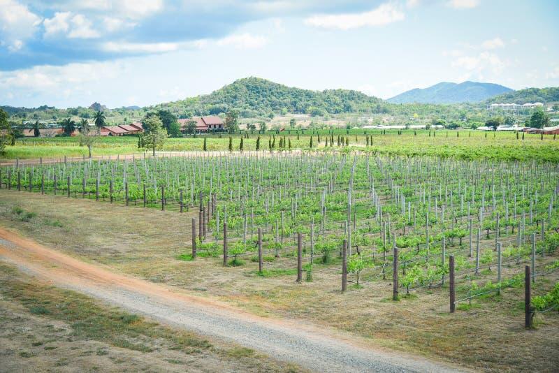 Виноградная лоза ландшафта растя в виноградниках засаживая земледелие фермы стоковые фотографии rf