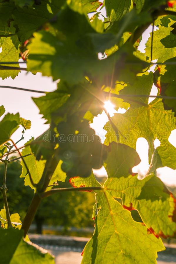 Виноградная лоза с листьями в свете задней части выравниваясь солнца светя до конца со звездой солнца стоковое изображение rf