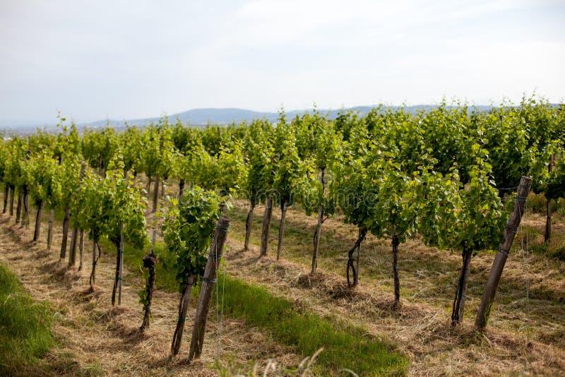 Виноградники благоустраивают в вене, листьях Австрии покрашенных зеленым цветом виноградного вина освещенных заходящим солнцем в  стоковая фотография