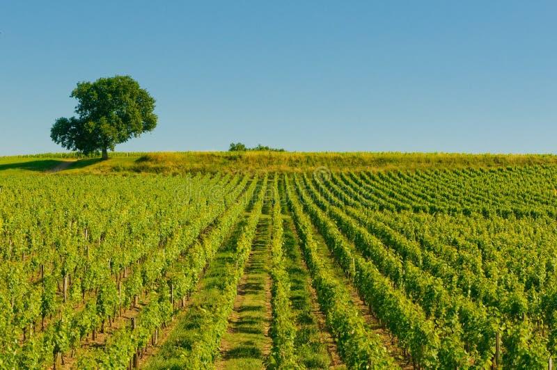 Виноградники в Бордо стоковые изображения rf