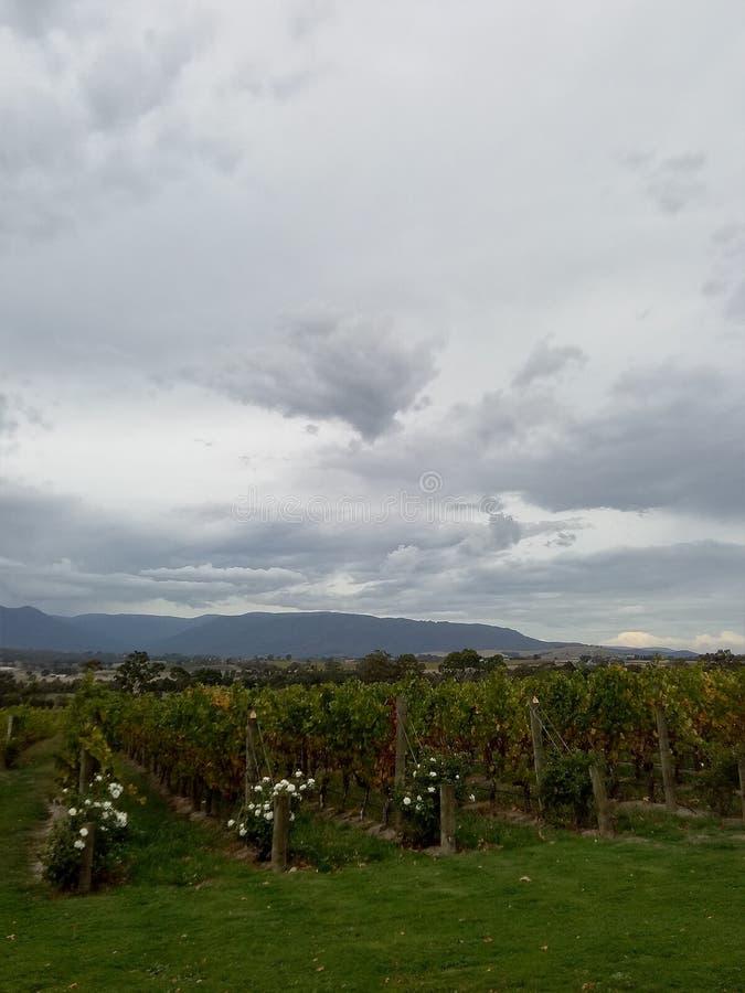 Виноградники в долине yarra стоковые фотографии rf