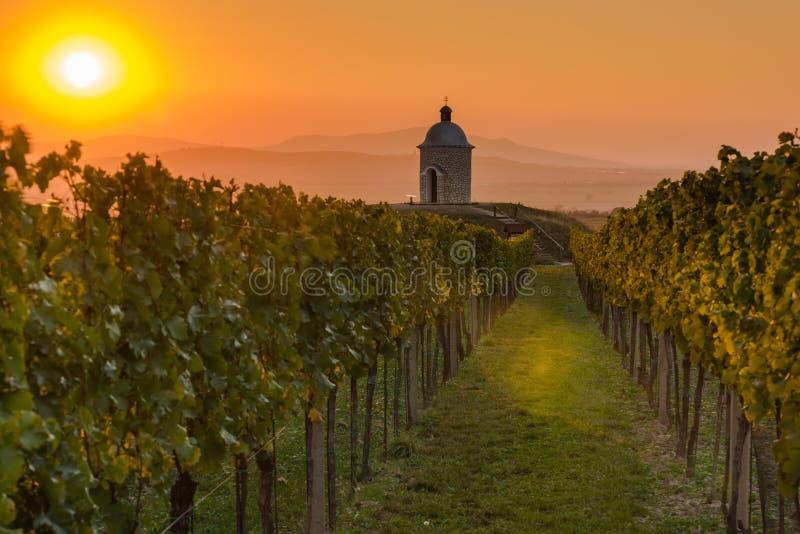 Виноградники в Моравии на заходе солнца стоковое фото rf