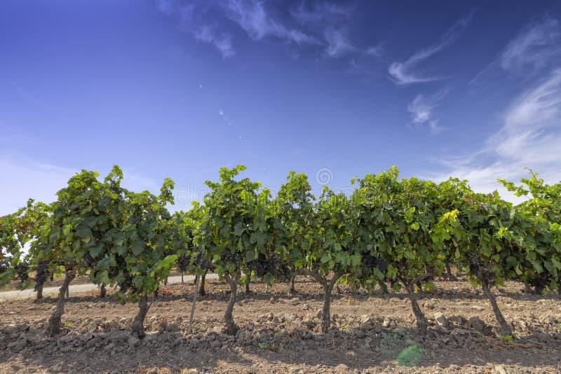 Виноградники в области La Rioja в Испании стоковое изображение