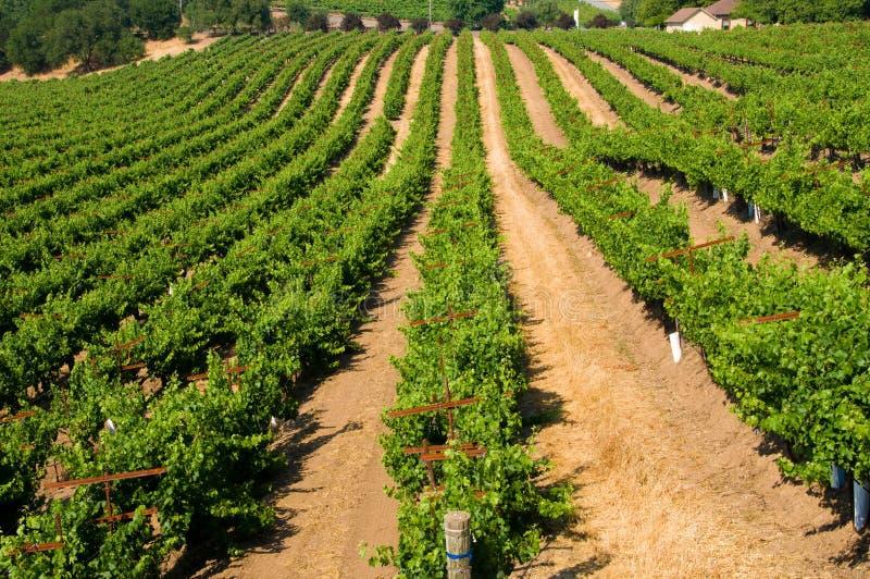 виноградники завальцовки california стоковое изображение