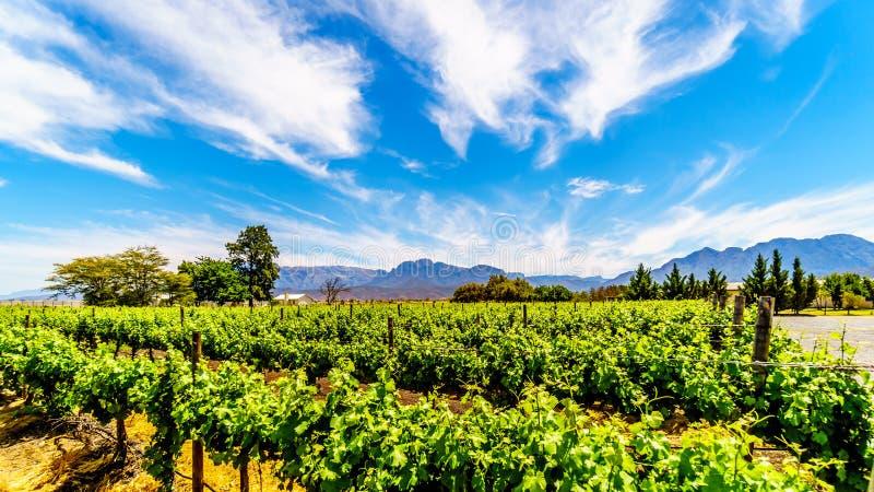 Виноградники и окружающие горы весной в винодельческом регионе Boland западной накидки стоковые фотографии rf