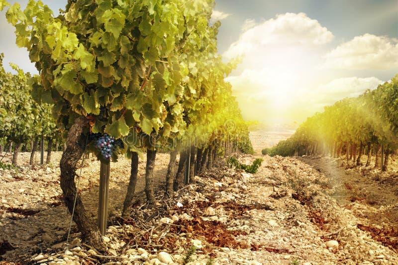 Виноградники на заходе солнца в хлебоуборке осени. стоковые изображения