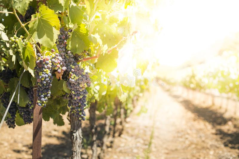 Виноградники на заходе солнца стоковое фото