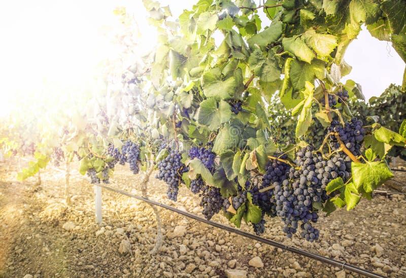 Виноградники на заходе солнца стоковая фотография