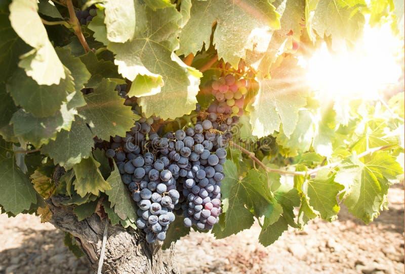 Виноградники на заходе солнца стоковая фотография rf