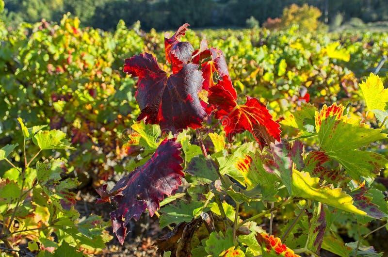 Виноградники на Сан Paio de Abeleda, Оренсе стоковые фотографии rf