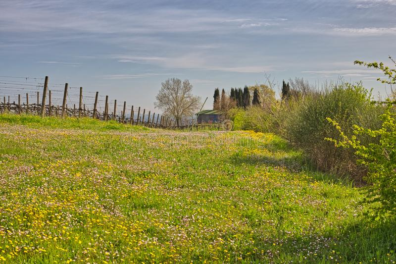 Виноградники около поля маргариток и одуванчиков стоковые фотографии rf