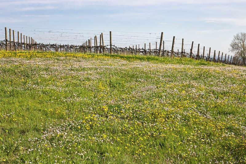 Виноградники около поля маргариток и одуванчиков стоковая фотография